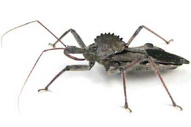 The sprocket like 'wheel' on the back of a Wheel Bug.