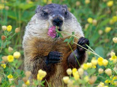 Ground Hog munching on a flower